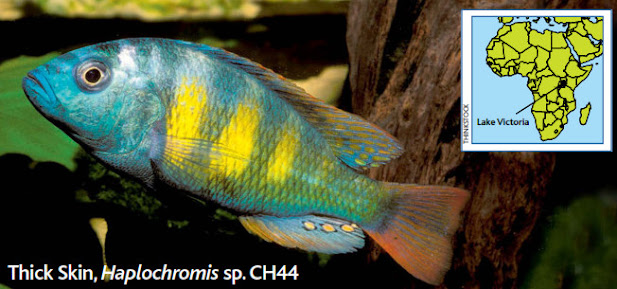 Image of Thick Skin, Haplochromis