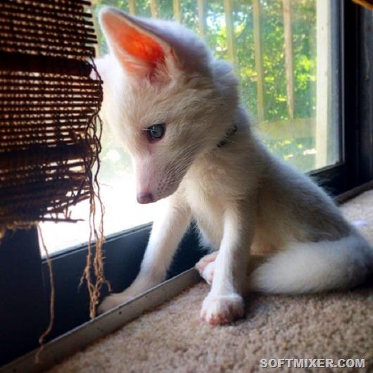 white-fox-cub-rylai-4