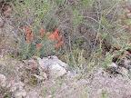 Indian Paintbrush - Buehman Canyon 4/22