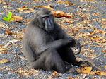 Celebes Crested Macaque, Tangkoko-Batuangas Dua Saudara Nature Reserve  [2013]