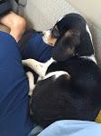 PnP Rescue - Darla the Blind Beagle - April 2015 - 24