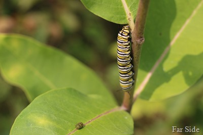 Monarch Poop