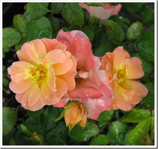 06-11-unkn-peach