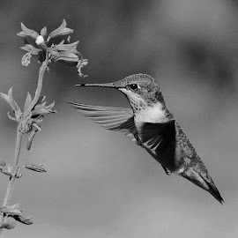 Hummingbird Feeding by Thomas Mckibben - Black & White Animals
