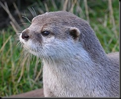 ASC Otter cropped (uncropped holding stone)