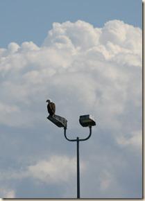 eagle-comox