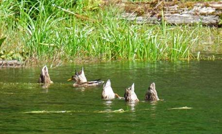 Ducks under water, Hoh Rain Forest