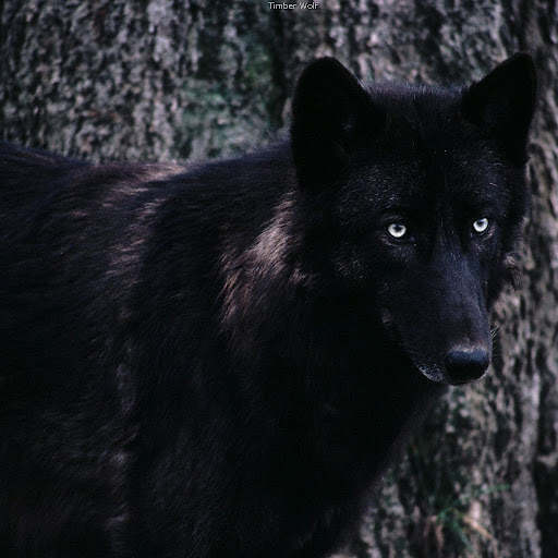Black And Red Anime Wolves With Scars Pictures to Pin on ...