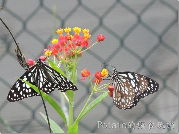 菁寮國小的蝴蝶園-絹斑蝶與花兒4