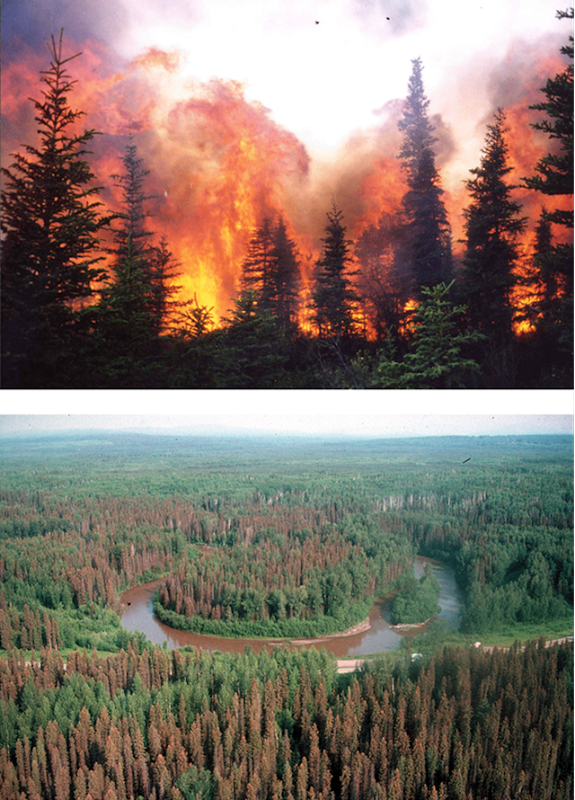 Top: Forest fire in Alaska Photo: La'ona DeWilde / University of Alaska Fairbanks. Bottom: Spruce budworm (Choristoneura fumiferana) attack on white spruce forest (Picea glauca) of northern British Columbia Photo: Troy Lockhart / British Columbia Ministry of Forests