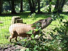 2007.08.09-032 tapir
