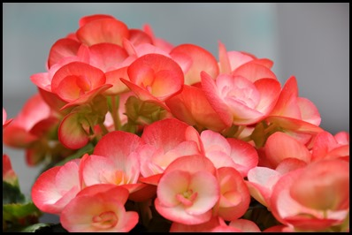 plants_flowers_begonia_088_l