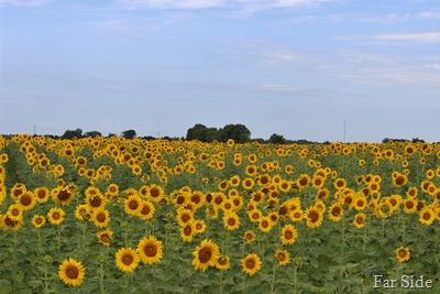 Sunflower field near Wadena Minnesota