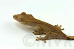 Crested_Gecko-IMG_7833-2012-04-24