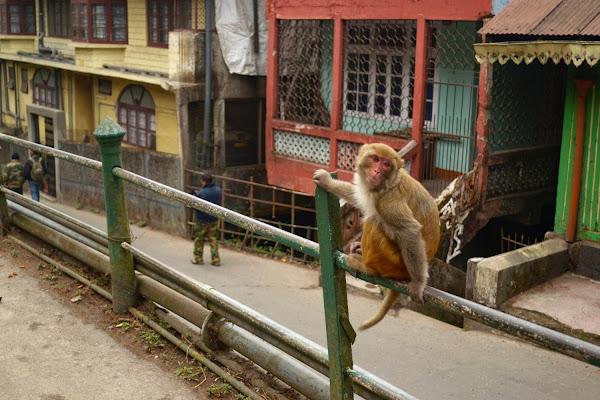 обезьяны мартышки дарджилинг