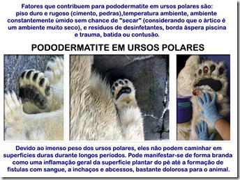 pododermatite-ursospolares