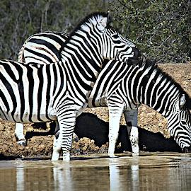 Restless Zebra by Pieter J de Villiers - Animals Other
