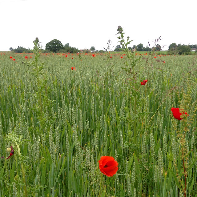 Poppies in a field in Jyderup, Denmark