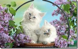 77- gatos blanco o crema (4)- buscoimagenes