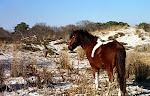 Pony on the beach, Maryland Side, Assateague Island, Atlantic Coast.