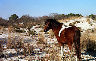 Pony on the beach, Maryland Side, Assateague Island, Atlantic Coast.