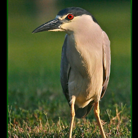 { Nycticorax nycticorax ~ Black Crowned Night Heron ~ 8 July }  by Jeffrey Lee - Typography Captioned Photos ( { nycticorax nycticorax ~ black crowned night heron ~ 8 july } )