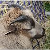 Sheep12.jpg