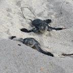 Schlüpfende Meeresschildkröten am Strand von Ras Kutani © Foto: Svenja Penzel | Outback Africa Erlebnisreisen