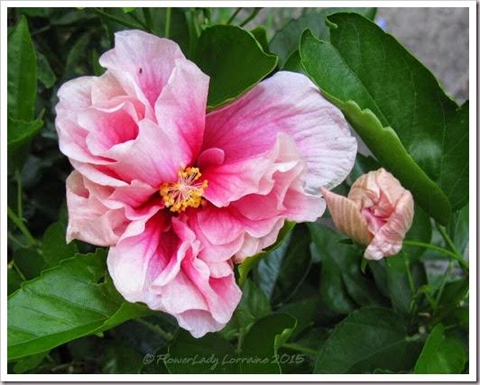 05-11-hibiscus