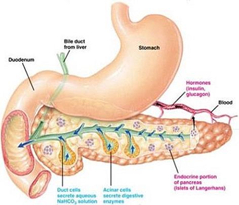 Pancreas structure anatomy