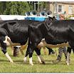 cattle10.jpg