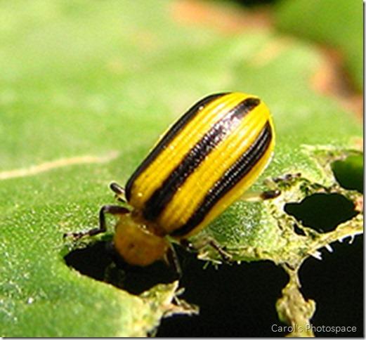 Cucumber-Beetle