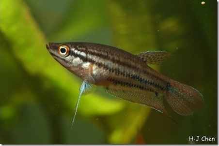 be-ca-canh-croaking_gourami_cabaitrau-be-thuy-sinh