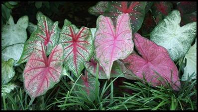 Caladium 1 Plants_0