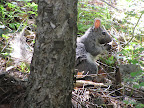 Abert's Squirrel at Mt. Lemmon  8/5 - hike