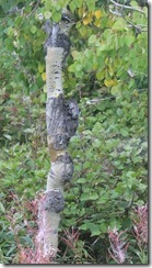 Burl Wood Popular