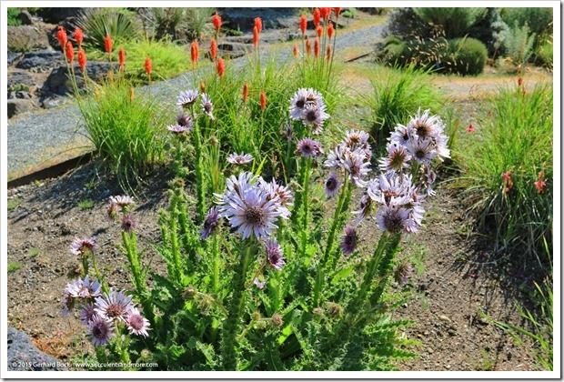 150629_Vancouver_UBCBG_0059_Berkheya-purpurea-