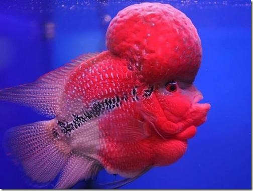 be-ca-canh-flowerhorn_calahan001-be-thuy-sinh