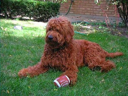 Goldendoodle_Red_thumb[2]