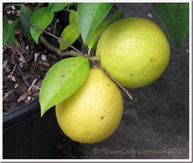 11-26-meyer-lemons