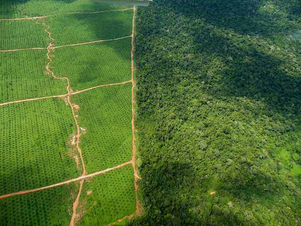 Two palm oil plantations have recently been established in Peru, supplanting primary forest. Satellite imagery analysis shows extent of the massive development, which is led by a group of companies tied to plantation entrepreneur and United Cacao CEO Dennis Melka. Photo: Environmental Investigation Agency