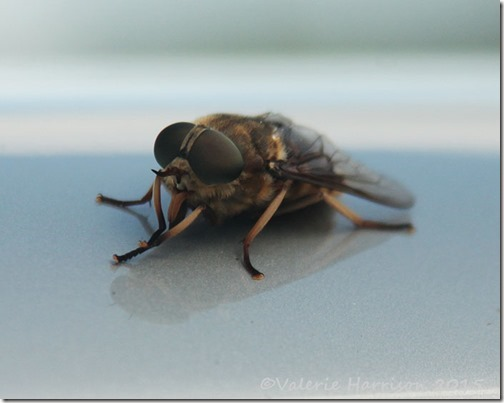 26-giant-horsefly