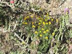 Fiveneedle Pricklyleaf, AZ Trail 4/29