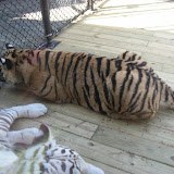 TIGERS Preservation Station - Myrtle Beach - 040510 - 10