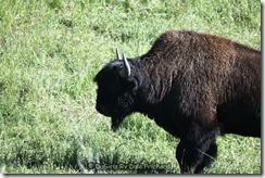 Aug_24_Wood Bison_8