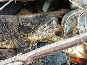 Monitor lizard on Rakata island