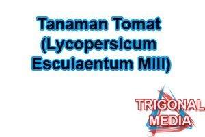 Tanaman Tomat (Lycopersicum esculaentum Mill)