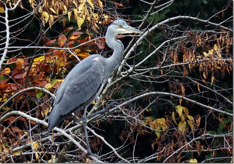 paris heron in bois de boulogn 110715 00001