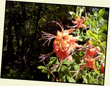 01j2 - Looking Glass Rock Hike - Hiking up - Flame Azaleas
