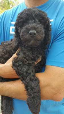 black with chocolate doodle puppy